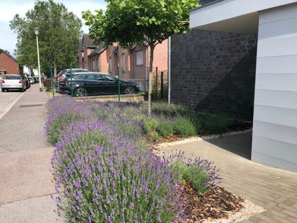 Ein Vorgarten mit Lavendel
